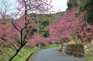 桜の開花情報(歌野川ダム) 写真