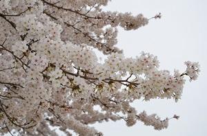 桜の開花情報(歌野川ダム周辺) 写真