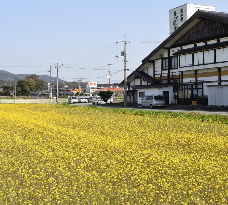 ☆ 菜の花が見ごろ♪☆ 写真